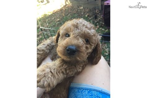 goldendoodle puppies for sale sacramento goldendoodle puppy for sale near sacramento california
