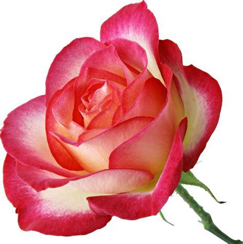 imagenes de lindas rosas 4 imagenes de rosas muy lindas