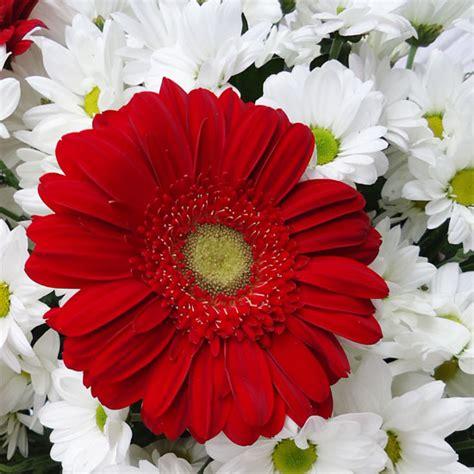 imagenes de gerberas blancas cesta de flores margaritas y gerberas domicilio madrid