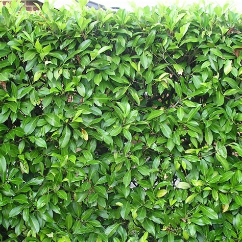 best evergreen hedge prunus rotundifolia and cherry laurel plants for hedging