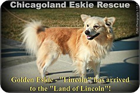 american eskimo golden retriever mix lincoln adopted elmhurst il golden retriever american eskimo mix