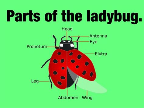 ladybug diagram ladybug diagram 28 images ladybird anatomy diagram