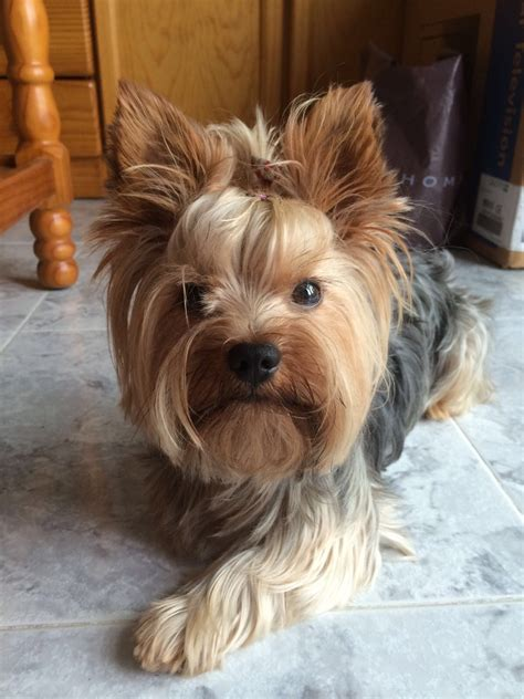 are yorkies with terrier
