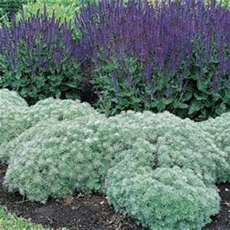 engelshaar pflanze perennials silver and perennial gardens on