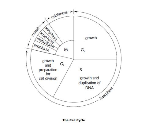 the cell cycle coloring worksheet the cell cycle coloring worksheet homeschooldressage