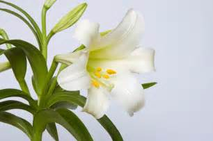 easter lily care tips planting easter lilies petal talk