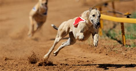 puppy racing humane groups to end greyhound racing dogtime