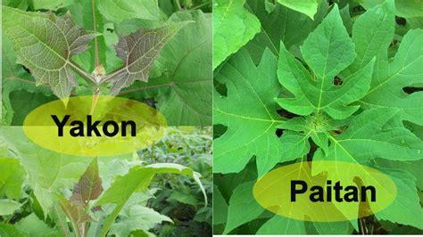 Teh Daun Yakon perbedaan daun yakon dengan daun paitan nayakon