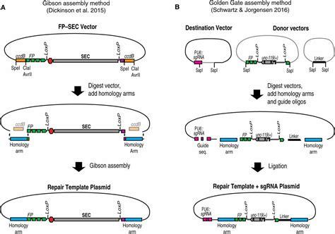 Crispr Based Methods For Caenorhabditis Elegans Genome Engineering Genetics Crispr Repair Template