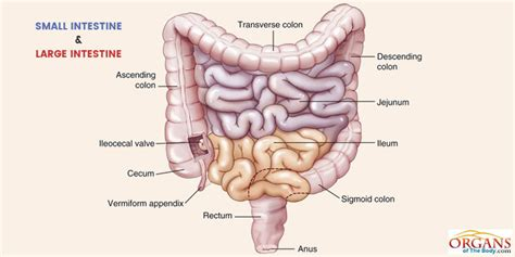 sections of small intestine human intestines picture www pixshark com images