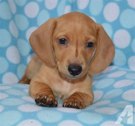 miniature dachshund puppies for sale in california dachshund puppies mini akc males for sale in rancho california california classified
