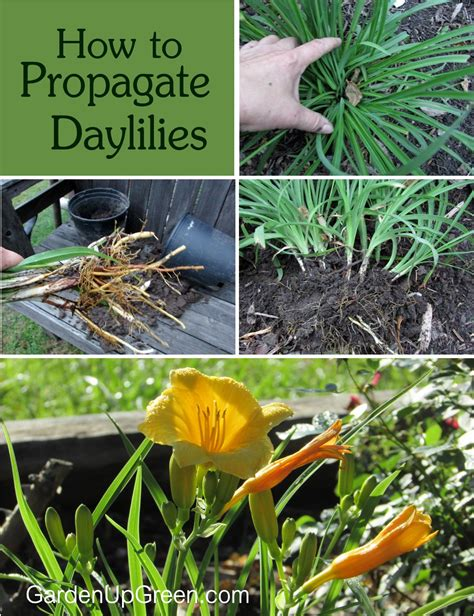 how to propagate daylilies garden up green