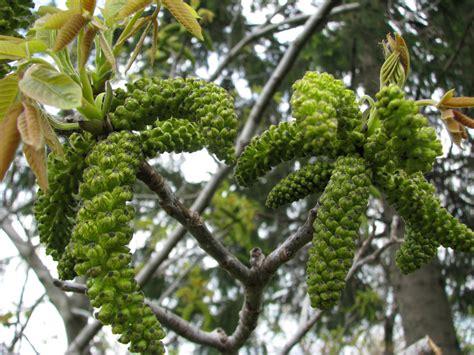 walnut fiore di bach fioricolori it naturopatia a genova e savona fiori di