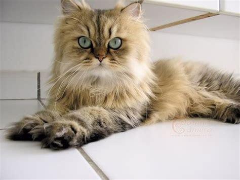 Asian Semi Longhair Cat Breed   Charming and Bright Asian