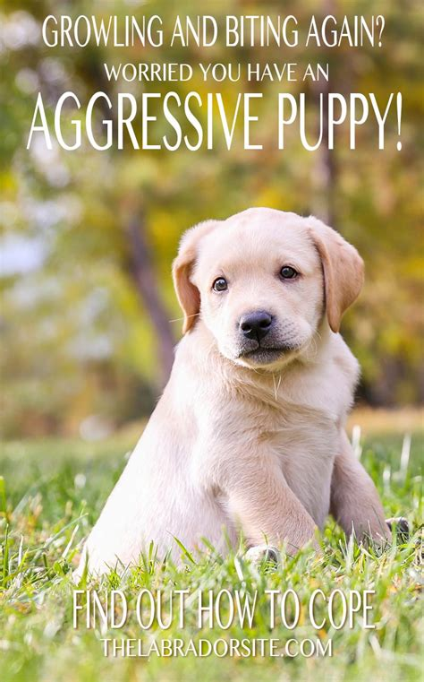 puppy aggression aggressive puppy how to recognize and treat puppy aggression