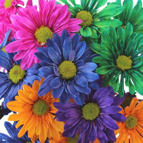colored flowers colored daisies flowers savingourboys info