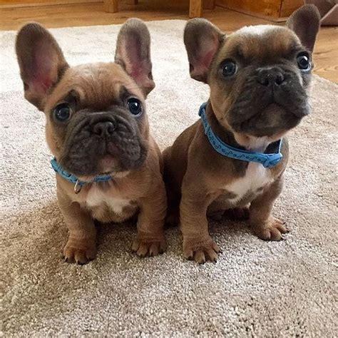 how much are bulldog puppies best 25 bulldog puppies ideas on bulldog pups bulldog