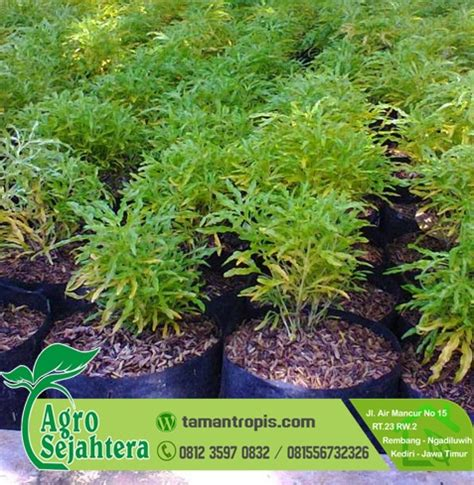 Pupuk Organik Untuk Bunga Matahari jual tanaman hias bunga brokoli