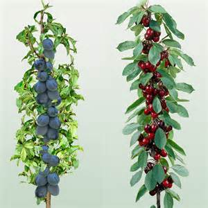 mini fruit trees mini fruit trees cherry plum need to find these in the