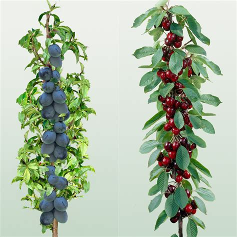 miniature plants for sale mini fruit trees cherry plum need to find these in the