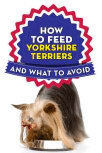 diet for yorkies best food for yorkies how what to feed terriers top tips