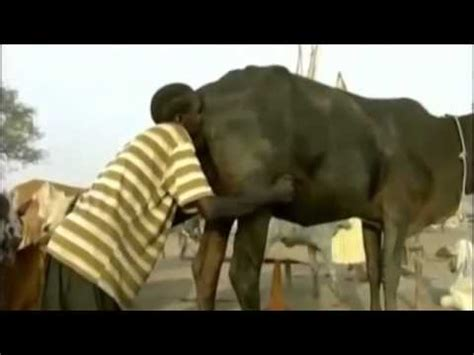 sedere uomo uomo soffia nel sedere di una vacca per farla defecare