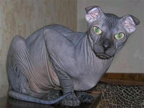 6 Amazing hairless cat breeds