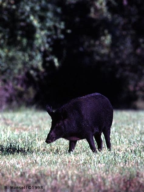how sprinkle the pig escaped the river of tears a story about being apart from loved ones strengths therapeutic children s books books feral pig