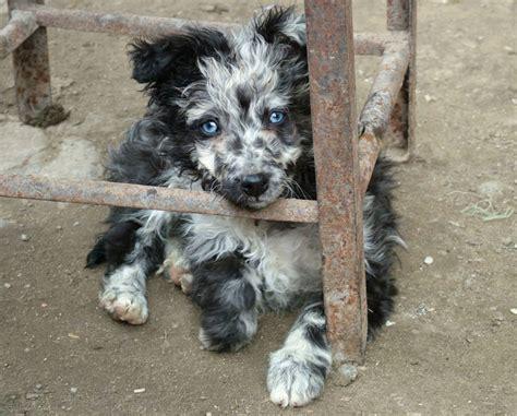mudi puppies for sale mudi puppy jpg quotes