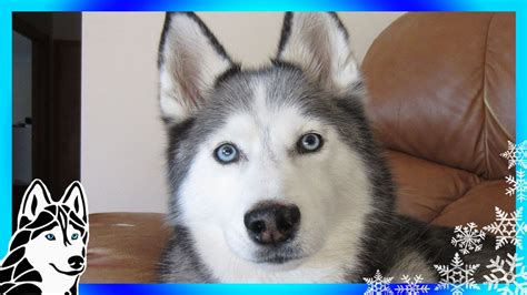 husky puppies howling siberian husky puppy howling at wroc awski informator internetowy wroc aw