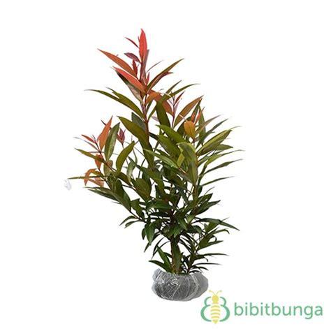 Jual Biji Bunga Pucuk Merah tanaman pucuk merah jual tanaman hias