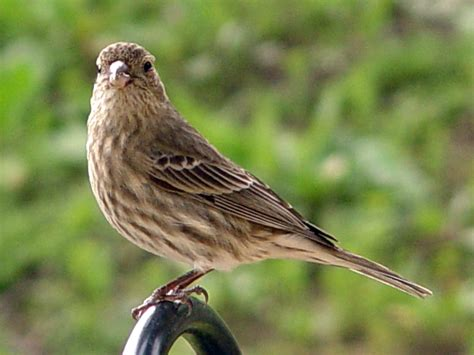 female house finch file female house finch jpg