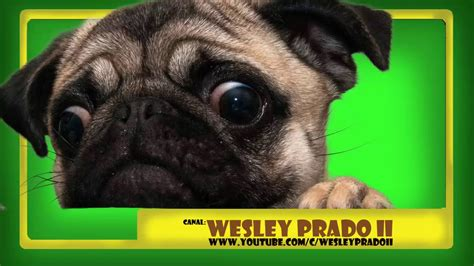 pug barking sounds som latidos de pug sound pug barking