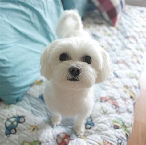 white small dogs 60 best small breeds images on baby dogs cutest animals and cubs