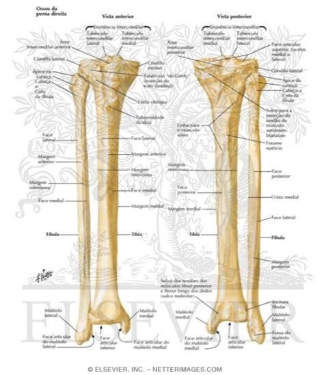 bu bourgery atlas of human 3836534495 tibia and fibula