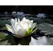 Flores De L&243tus  Massagem O Toque Em Terapia Forma&231&227o E