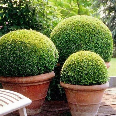 bosso vaso bosso in vaso alberi latifolie coltivare il bosso in vaso