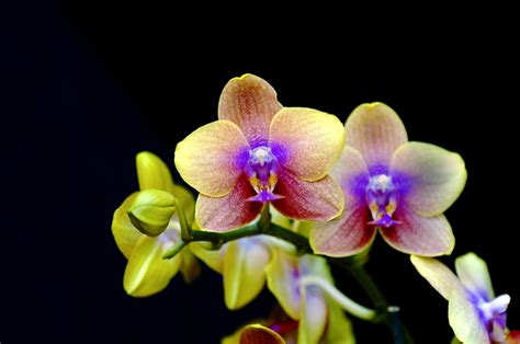 buy an orchid singing orchid discovered in the rainforest