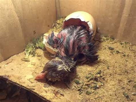 menetaskan telur ayam kung menggunakan mesin tetas dari