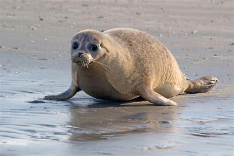 boot zeehond ameland zeehonden waddenzee zeehonden zien op de waddenzee