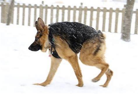 special needs dogs quasimodo a special needs with a following