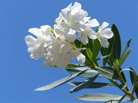 oleandro in vaso oleandro in vaso cure e consigli pratici di coltivazione