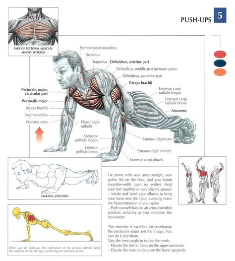 push up diagram anatomy of the push up proper pushups are simple to
