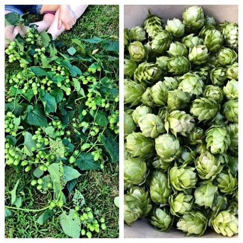 backyard hops 17 best images about hops harvest on pinterest brewery dryers and farms