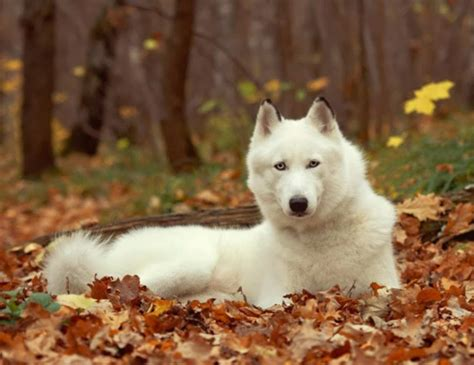 white siberian husky puppies american husky dogs puppies breeds picture