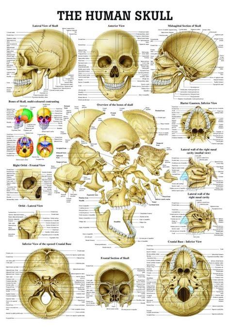 skull anatomy best 20 human skull anatomy ideas on