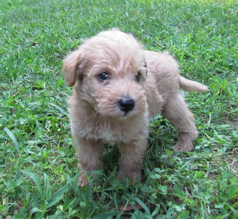 hypoallergenic dogs hypoallergenic breeds small breeds picture