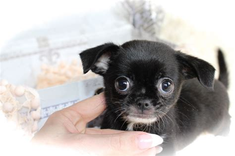 pug x chihuahua puppies for sale pug x chihuahua puppies norfolk pets4homes