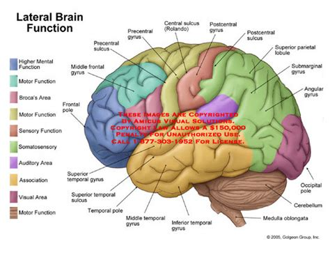 brain sections and functions lateral brain function