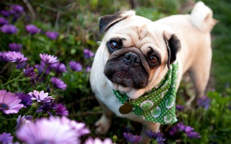 pug hd images pug wallpapers hd pixelstalk net